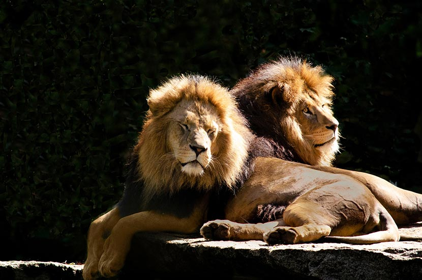 Two Lions?